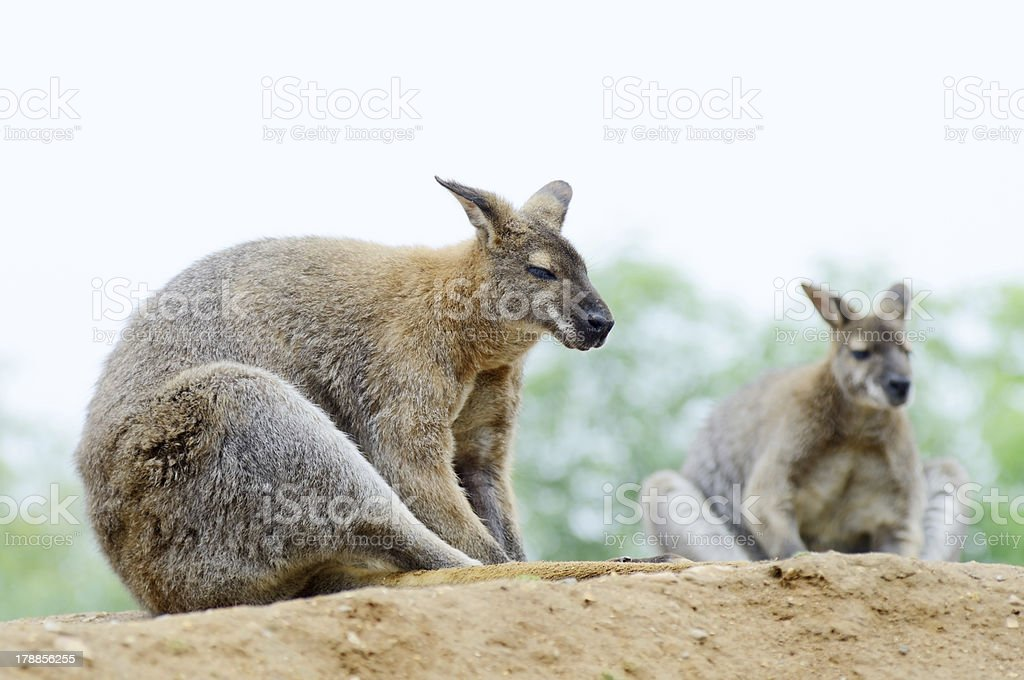 Two wallabies royalty-free stock photo