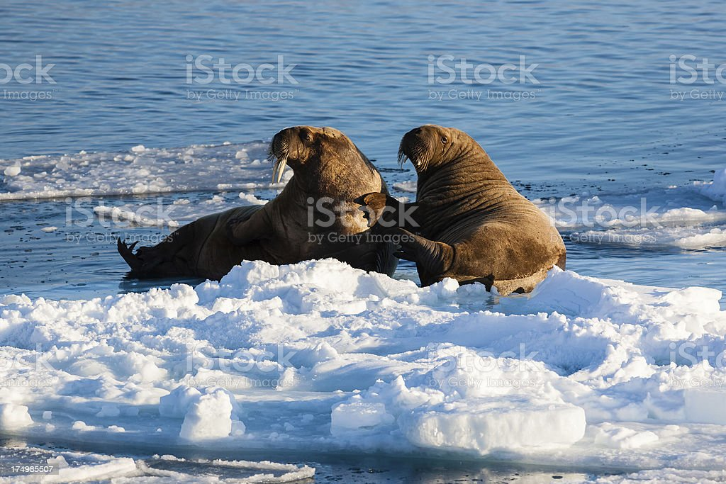 Two walrus stock photo