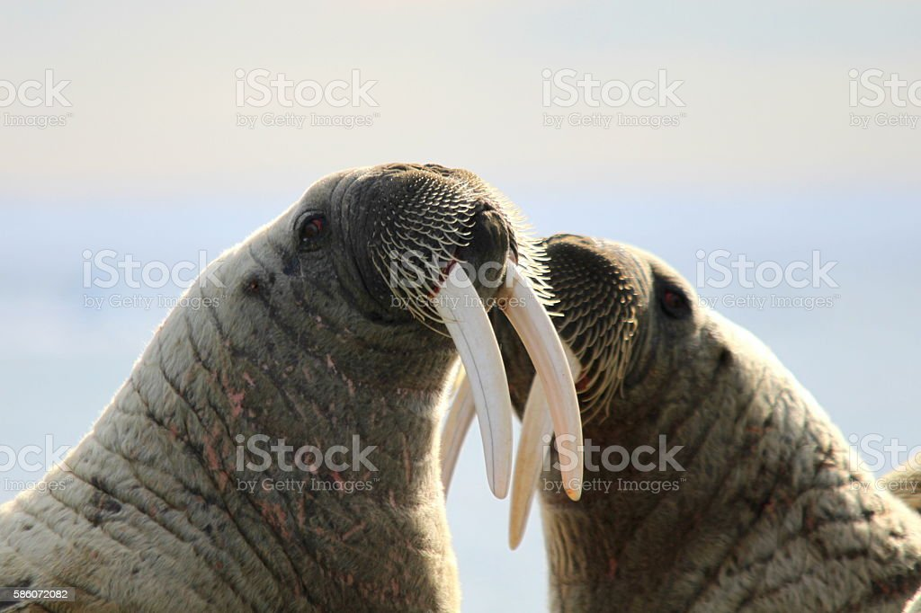 Two walruses fighting on ice floe in Canada stock photo