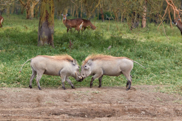 Two warthogs fighting in Kenya stock photo