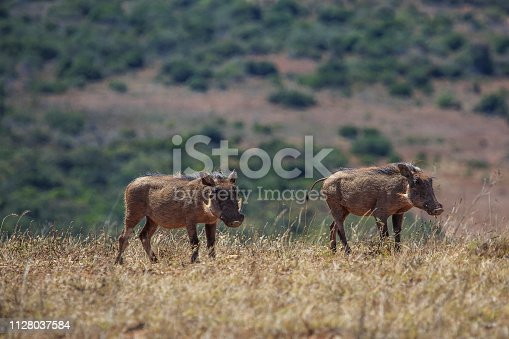 Two warthogs on the move on top of a hill