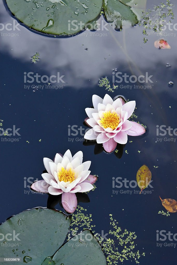 two water lilies in a pond stock photo