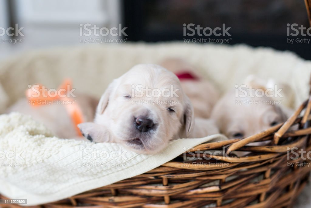 Two Weeks Old Cute Golden Retriever Puppy In The Basket Sweet Golden Retriever Baby Is Trying To Escape From The Basket Stock Photo Download Image Now Istock