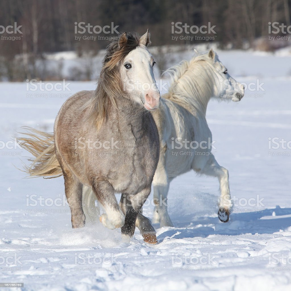 Two welsh ponnies running royalty-free stock photo
