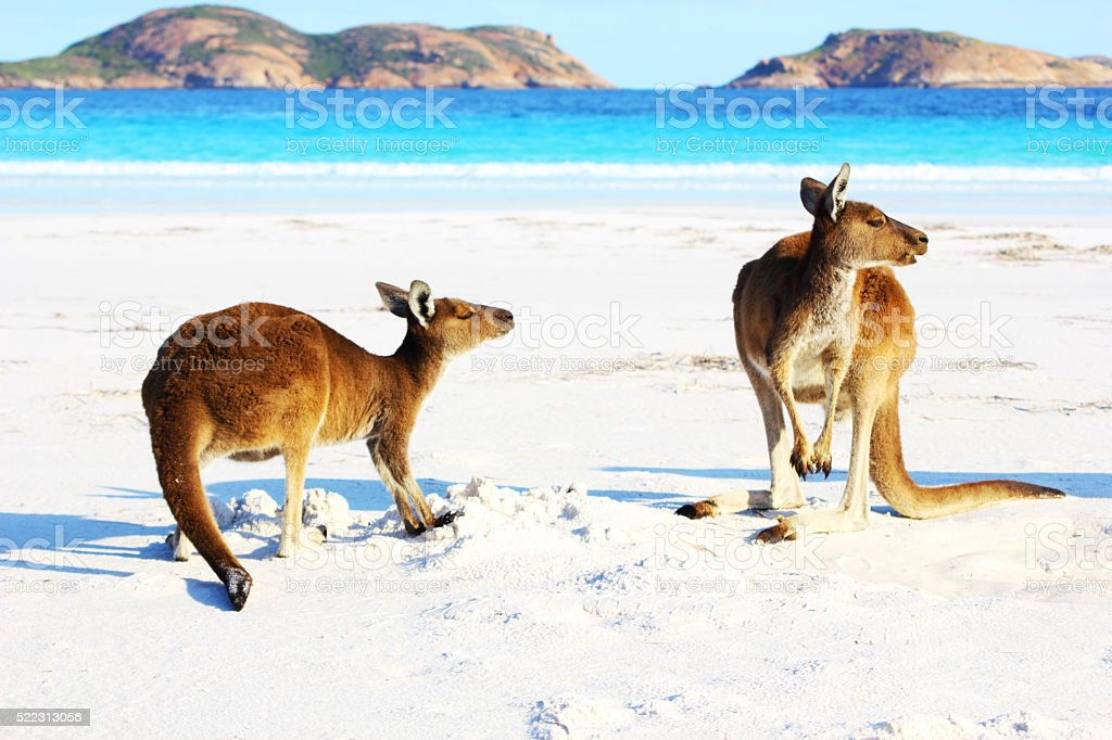 Two Western Grey Kangaroos playing on Beach, Cape Le Grand stock photo