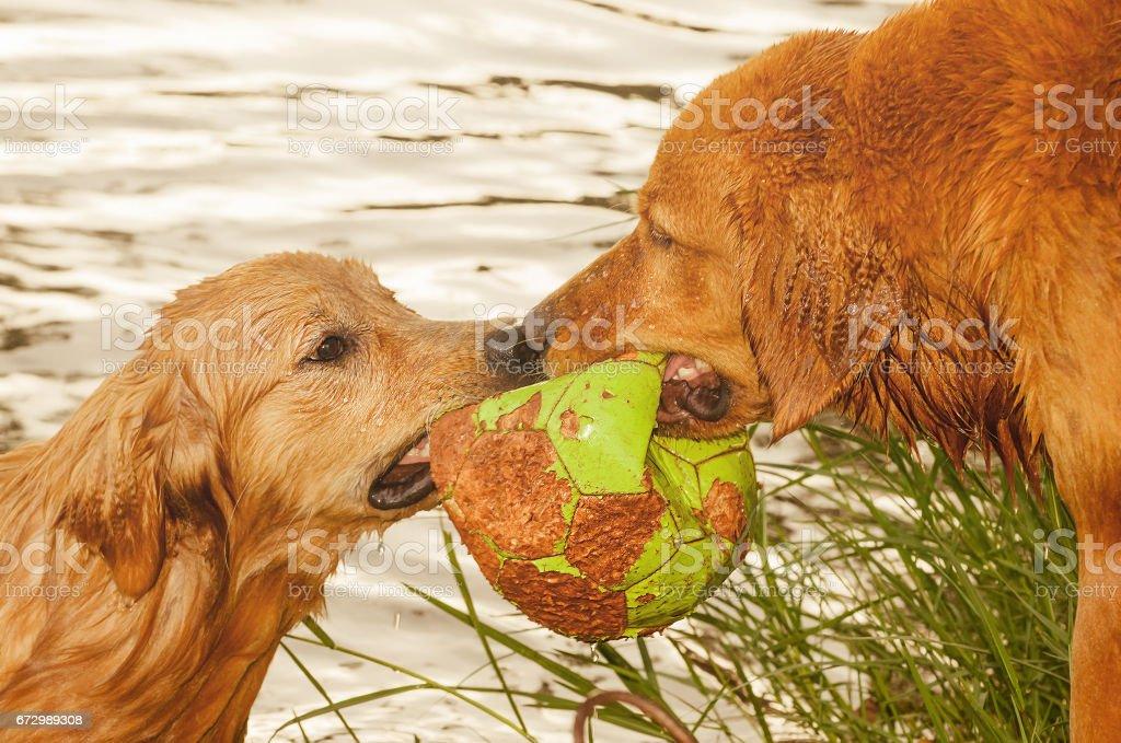 Dois cachorros molhados, lutando por uma bola em um lago - foto de acervo