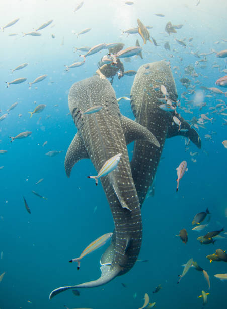 Two Whale sharks with a scuba diver Two huge Whale sharks with a scuba diver petting one of the sharks showing the size. Shot on July/17/2015 in Yomitan, Okinawa in Japan. The diver is feeding the Whale sharks which are captive Sharks in the big net cage in the ocean. whale shark stock pictures, royalty-free photos & images
