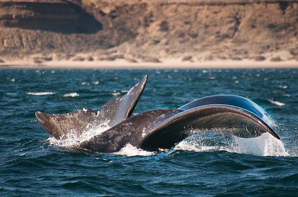Dos ballenas en punta pirámides patagonia, argentina - foto de stock