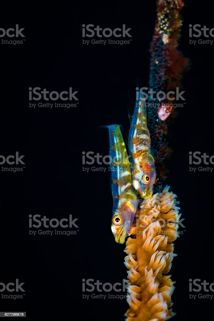 Two Whip coral goby (Bryaninops yongei) with eggs. stock photo