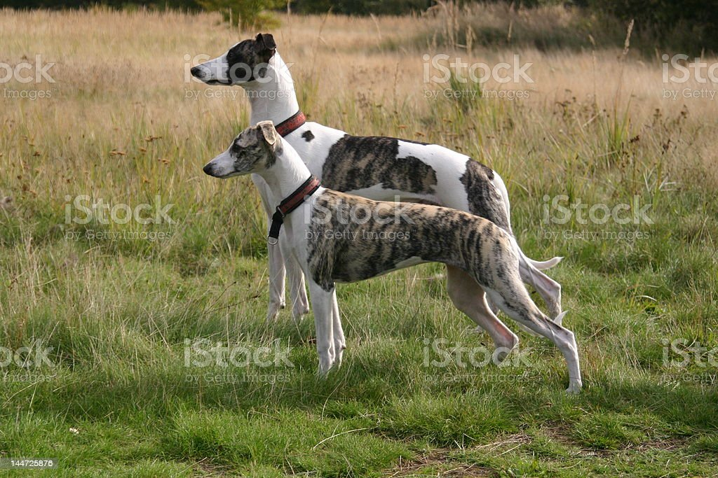 Two whippets royalty-free stock photo