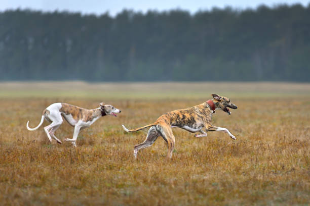 Two whippets running Two whippets running across the autumn field during on a coursing training whippet stock pictures, royalty-free photos & images