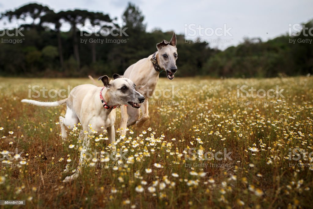 Two whippets running stock photo