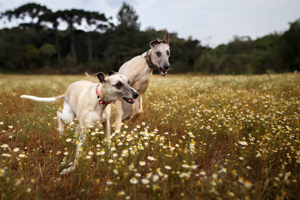 Two whippets running Two whippets running in the fields. whippet stock pictures, royalty-free photos & images