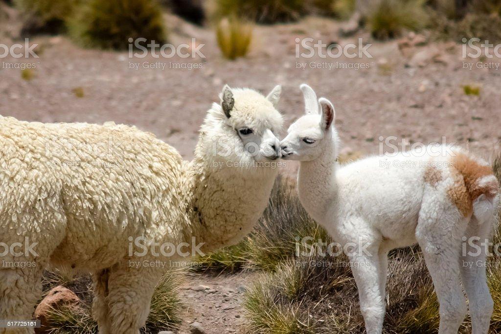 Two white alpacas stock photo