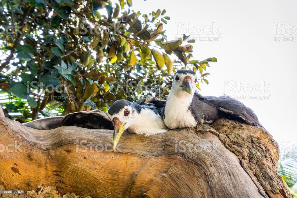 Two White amaurornis phoenicurus birds stock photo