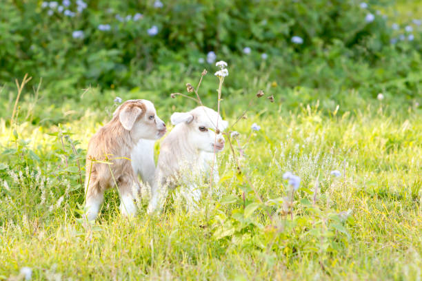 Two white and cream baby kid goats in grassy meadow stock photo