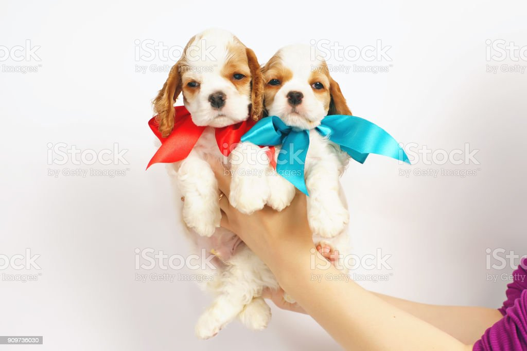 Two white and red American Cocker Spaniel puppies posing indoors in woman's hands on a white background stock photo