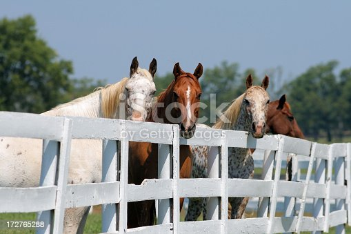 Four horses and a white fence