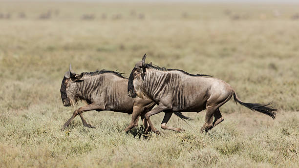 Two White Bearded Wildebeest running in Ndutu, Serengeti, Tanzania Two White Bearded Wildebeest running in Ndutu, Serengeti, Tanzania wildebeest running stock pictures, royalty-free photos & images
