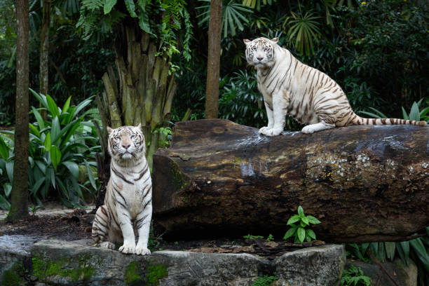 Two white Bengal tigers in a jungle stock photo