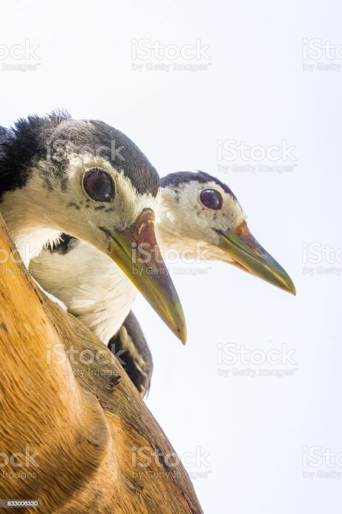 Two White breasted Waterhen birds stock photo