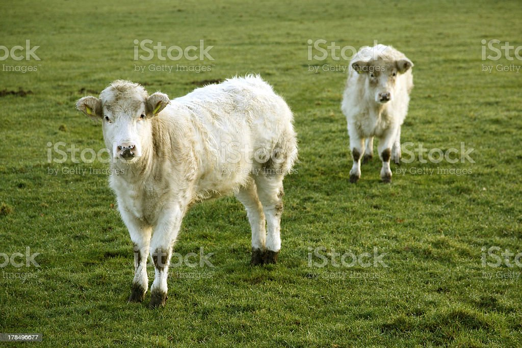 two white calfs in meadow royalty-free stock photo
