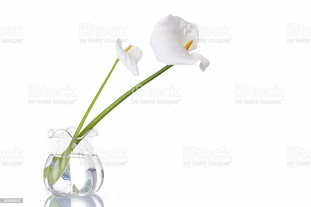Two White Callas royalty-free stock photo