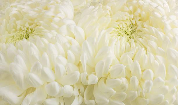 Two White Chrysanthemums stock photo