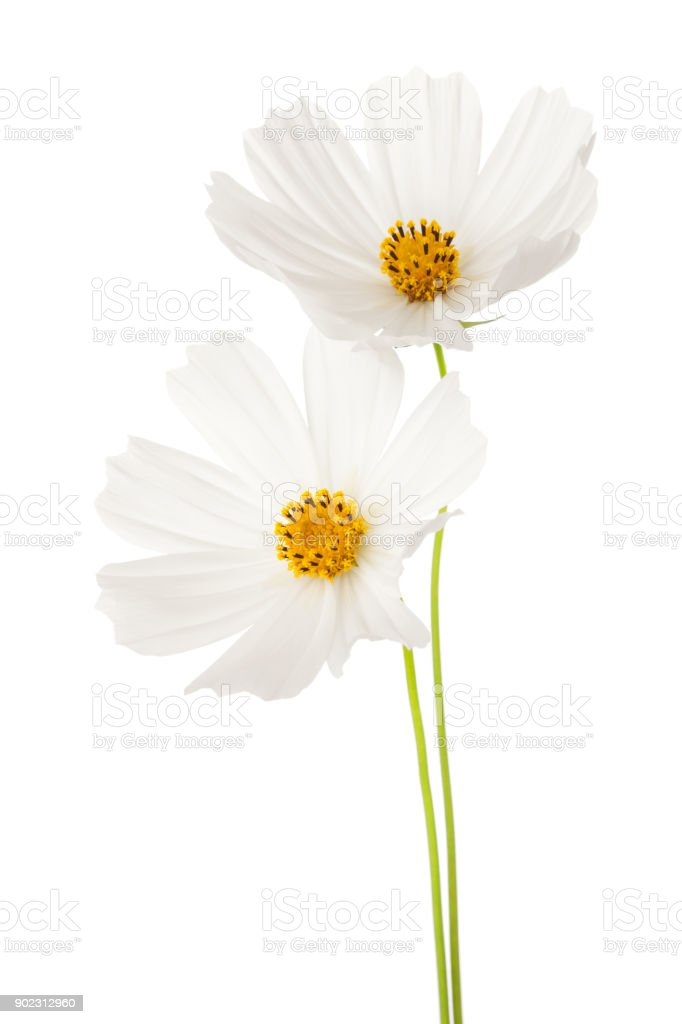 Two white  Cosmos flowers isolated on white background. Garden Cosmos. stock photo