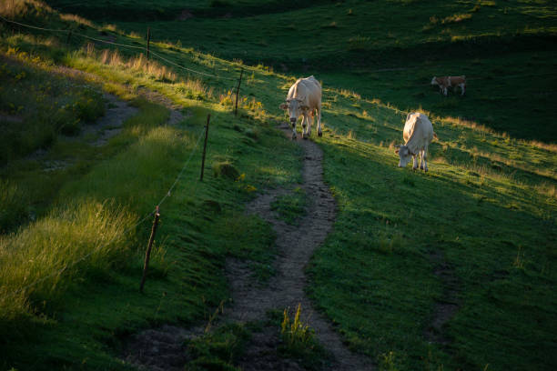 Two white cows grazing and walking on a path on a hill and another cow in the background n Dumesti, Salciua de Sus, Alba County, Romania stock photo