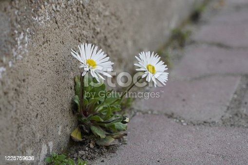 daisy flowers growing from a concrete