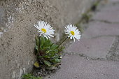 istock Two white daisy flowers growing from a concrete path 1225759636