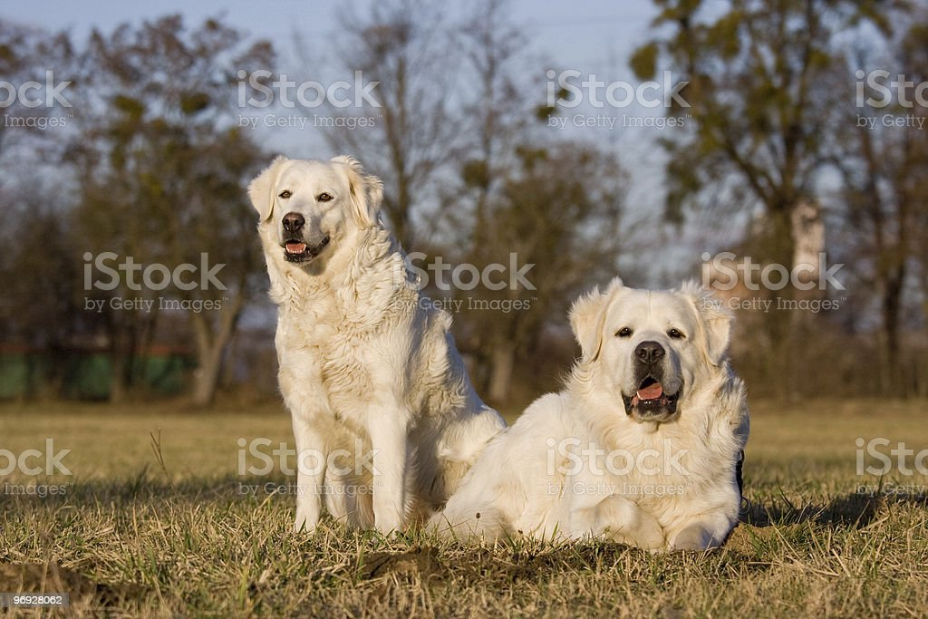 Two white dogs on meadow royalty-free stock photo