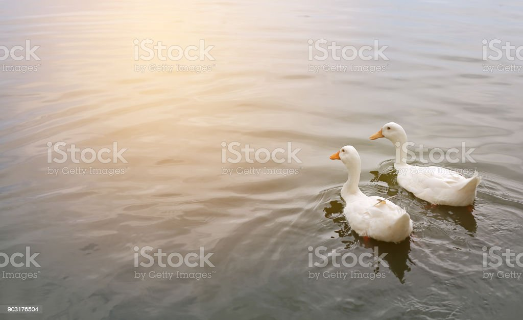 Two white ducks float in ponds by reflecting sunlight. stock photo