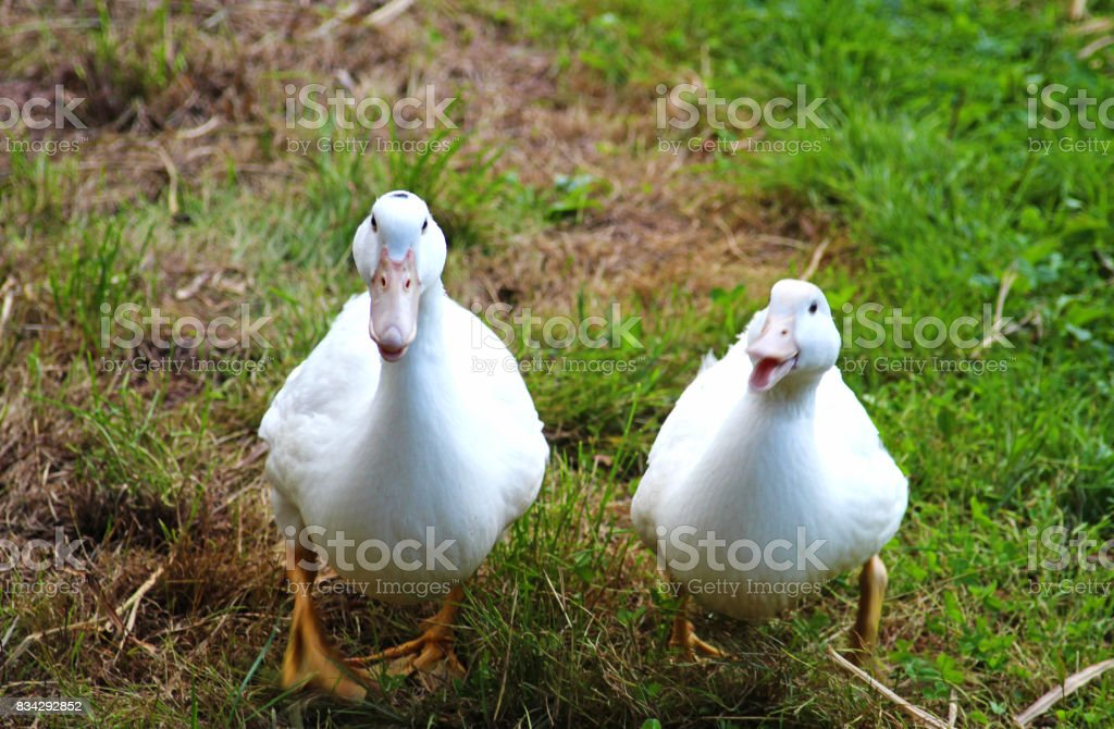 two white ducks looking into camera stock photo