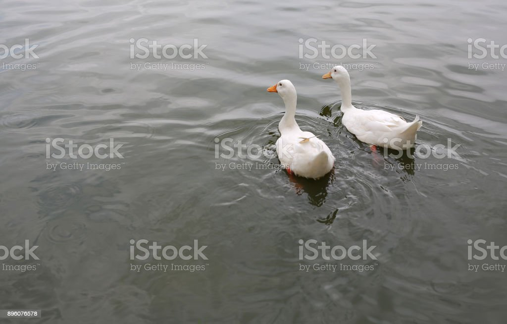 Two white ducks swimming in the pond. stock photo