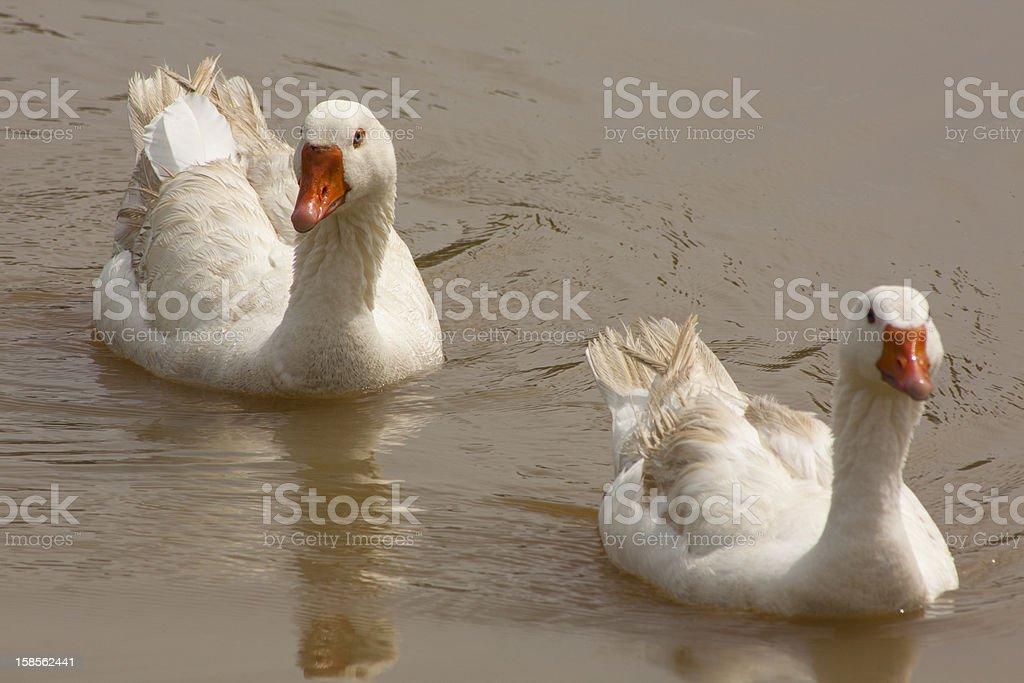 두 인명별 오리 수영 royalty-free 스톡 사진