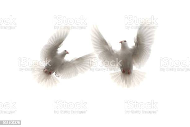 Two white feather pigeon flying mid air against white background picture id953105328?b=1&k=6&m=953105328&s=612x612&h=ajmt4 rtaikhyc3ql87mfm6jicyi6dh wm00nenwgzq=