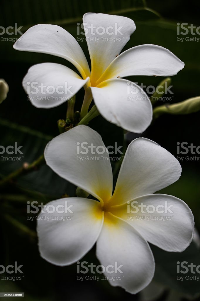 Two white flowers blossom royalty-free stock photo