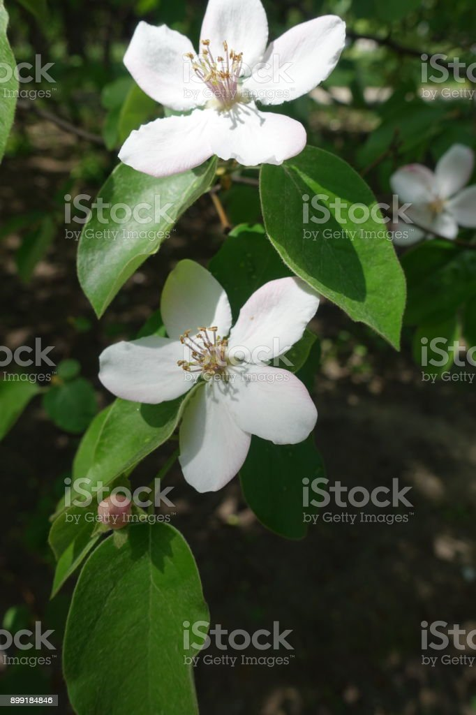 Two white flowers of Cydonia oblonga tree stock photo