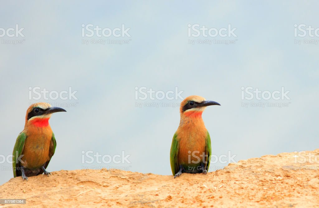 Two white fronted bee eaters resting on the edge of a sandbank on the laugh river, zambia stock photo