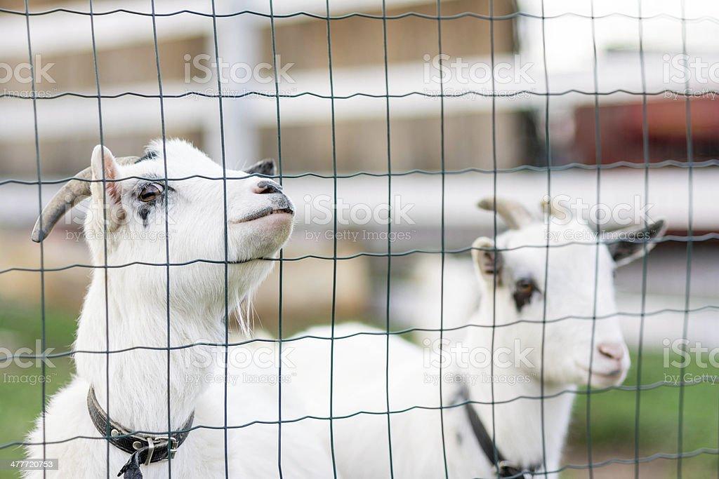 Two White Goats stock photo 477720753 | iStock