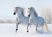 istock Two white horses gallop on snow field 163159873