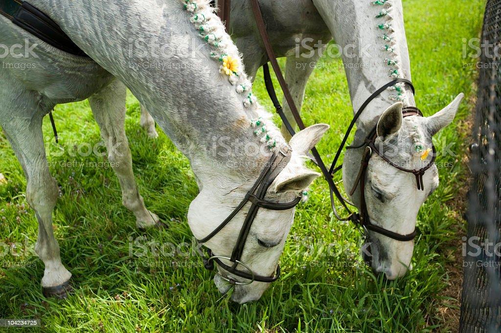 Two white horses grazing on grass stock photo
