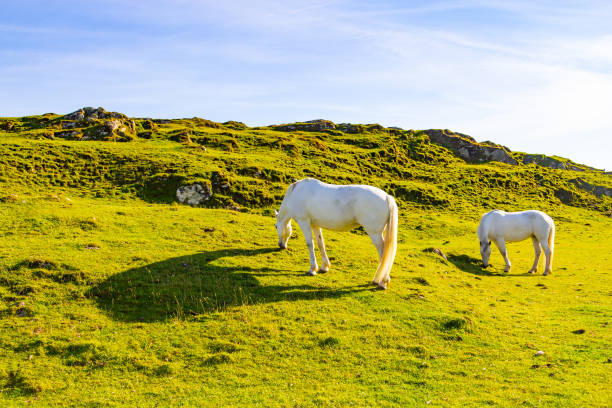 Two white horses in a farm field stock photo