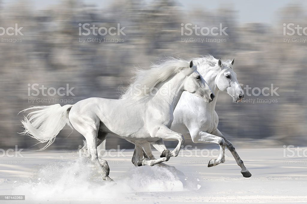 Two white horses in winter run gallop stock photo
