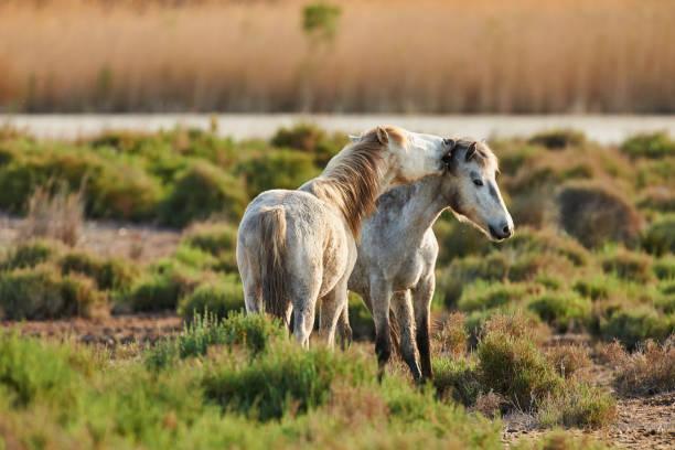 two white horses of camargue - заповедник дикой природы стоковые фото и изображения