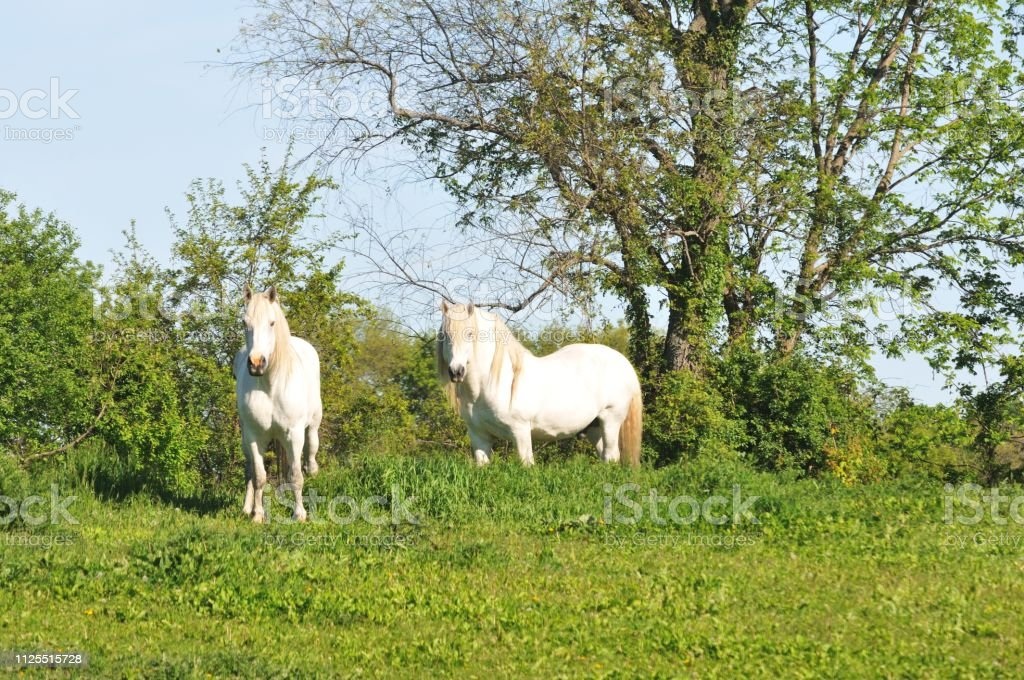 Two White Horses Stock Photo Download Image Now Istock