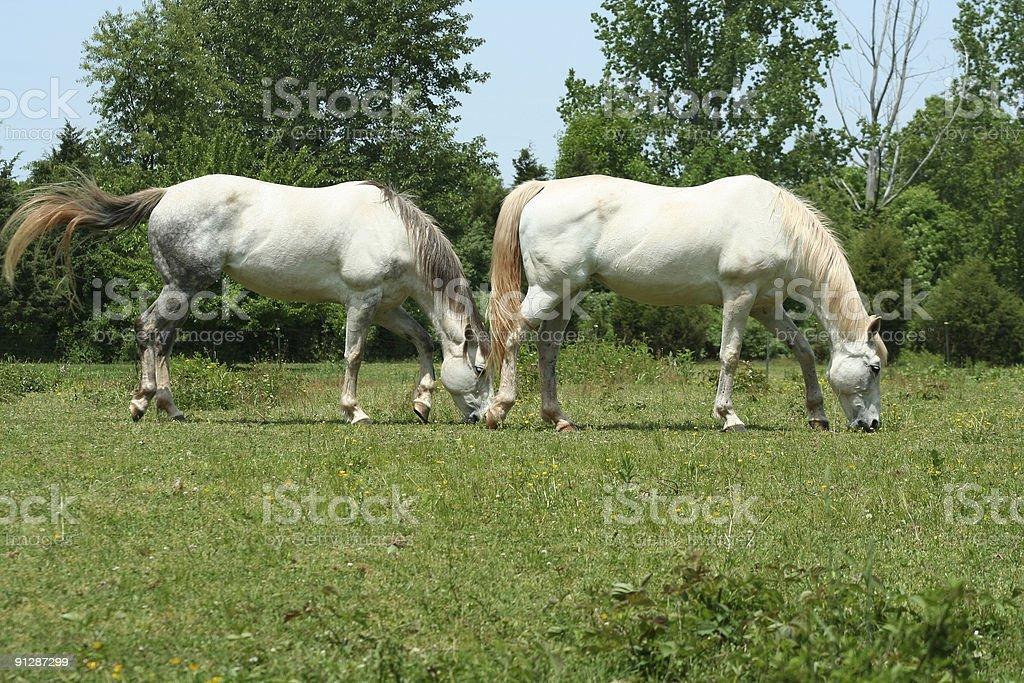 Two white horses stock photo