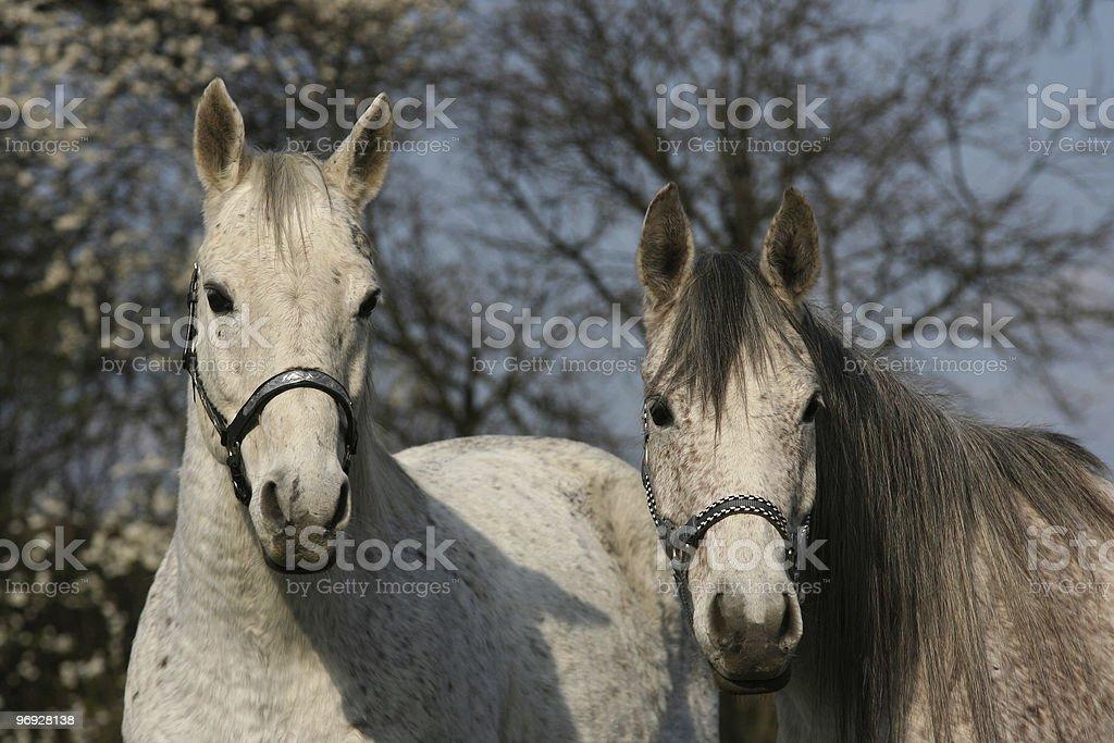 Two white horses royalty-free stock photo